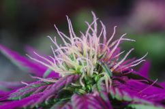 Indica flowers stock photos