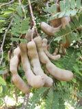 Indica frukt för Tamarindus royaltyfri fotografi