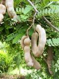 Indica frukt för Tamarindus royaltyfri foto