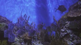 Indica indiano del Alectis del threadfish anche conosciuto come threadfin, diamante trevally, pesce dello specchio e piumato indi stock footage