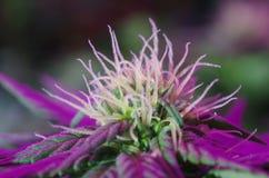 Indica kwiaty Zdjęcia Stock