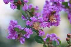 indica lagerstroemia arkivfoto