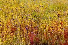 Indica Linn.flower (DROSERACEAE) Unschärfe des Drosera mit trockenem Gras Lizenzfreie Stockfotografie