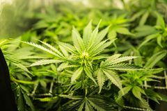 Indica médicinal avec CBD Cannabis au début de la floraison Fond vert des feuilles Jeune centrale de cannabis image stock