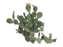 indica prickly opuntiapear för ficus Arkivbild