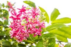 Indica Quisqualis Royaltyfria Bilder