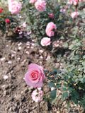 Indica Rosa stock afbeelding