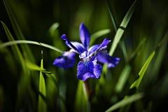 Indicador azul Irus imágenes de archivo libres de regalías