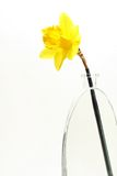 Indicador de Daffodill. Imagens de Stock Royalty Free