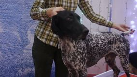 Indicador de pelo corto alemán obediente que se coloca en la tabla en la exposición canina, animal doméstico entrenado almacen de metraje de vídeo