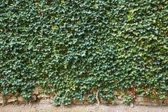 Indicador decorativo de um tenement histórico Coberto de vegetação velho da parede de pedra com as plantas verdes Foto de Stock