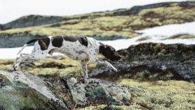 Indicador inglés del perro Imagen de archivo