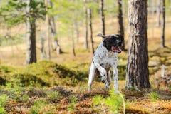 Indicador inglés del perro Fotos de archivo