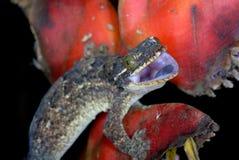 Indicador irritado da ameaça do gecko em Costa-Rica Imagens de Stock