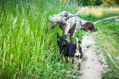 Indicateur aux cheveux courts allemand avec un petit chien d'ami Photo stock