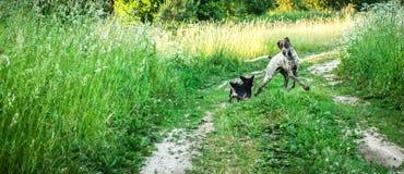 Indicateur aux cheveux courts allemand avec un petit chien d'ami Photos stock