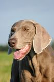 Indicateur de Weimaraner (tête) Photos stock