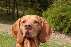 Indicateur hongrois Vizsla, reniflant sur la chasse Poursuivez un ami loyal d'un chasseur Petit groupe de tête de chien Photo libre de droits