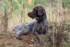 Indicateur wirehaired allemand se reposant dans l'herbe photos stock