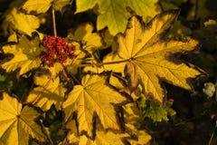 Indicatore luminoso caldo sui fogli e sulle bacche di colore giallo Fotografia Stock Libera da Diritti