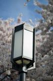 Indicatore luminoso con il fiore di ciliegia Immagini Stock Libere da Diritti