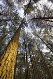 Indicatore luminoso dell'albero di pino Fotografia Stock