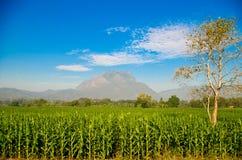 Indicatore luminoso di primo mattino di alba sul campo di cereale Fotografia Stock Libera da Diritti
