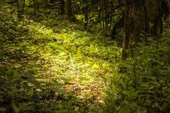 Indicatore luminoso in foresta Fotografia Stock Libera da Diritti
