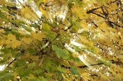 Indicatore luminoso giallo e verde dei fogli attraversato Immagini Stock Libere da Diritti