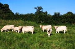 Indicatore luminoso molle di sera del bestiame del charolais Fotografie Stock