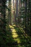 Indicatore luminoso nella foresta Fotografie Stock Libere da Diritti