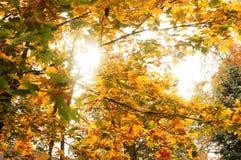 Indicatore luminoso tramite i fogli di autunno immagine stock