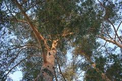 Indicatori luminosi di Sun nella foresta del pino Fotografie Stock