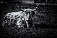 Indicazione cornuta lunga del toro Immagini Stock