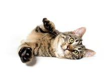 Indicazione del gatto di soriano Fotografia Stock