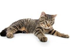 Indicazione del gatto di soriano Immagine Stock