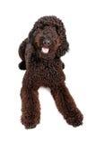 Indicazione dorata del cane di Doodle Fotografia Stock Libera da Diritti