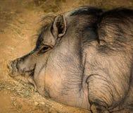 Indicazione felice di vista laterale della testa del maiale Immagine Stock