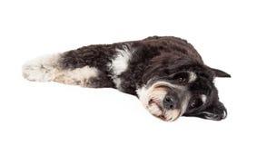 Indicazione sveglia del cane della razza della miscela del barboncino fotografia stock