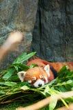 Indicazione sveglia del panda minore Fotografie Stock Libere da Diritti