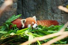 Indicazione sveglia del panda minore Fotografia Stock