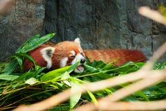 Indicazione sveglia del panda minore Fotografia Stock Libera da Diritti