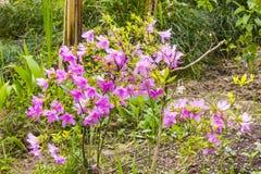 Indicum рододендрона Стоковые Изображения