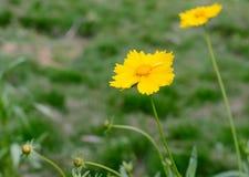 Indicum amarillo del crisantemo Imágenes de archivo libres de regalías