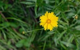 Indicum amarillo del crisantemo Foto de archivo