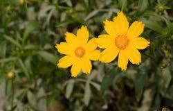 Indicum amarillo del crisantemo Foto de archivo libre de regalías