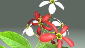Indicum Combretum бесплатная иллюстрация