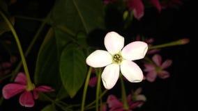 Indicum de Combretum ou orMadhumalti chèvrefeuille ou de plante grimpante chinois de Rangoon photos stock