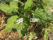 Indicum de Heliotropium photo libre de droits