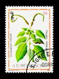 Indicum di Hiliotropium, serie delle piante medicinali, circa 1983 Immagine Stock